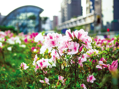 Blossoming azaleas can be seen on Taipei streets in spring. (Photo / He Chengxun)