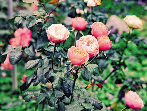 More than 700 rose types at Taipei Rose Garden add romantic hues to the city. (Photo / Wang Zhengxiang)