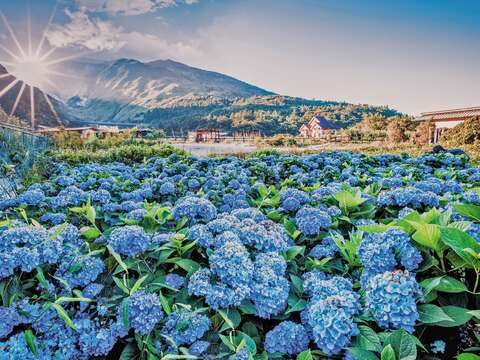 Yangmingshan is always crowded with people taking photos and checking in during the hydrangea flowering season.(Photo / Cai Yuzhen,)