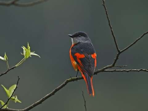 "Perched on treetops, male yellow-throated minivets look like hanging red chili peppers, giving rise to the name ""red mountain pepper."" (Photo: Guo Gengguang)"