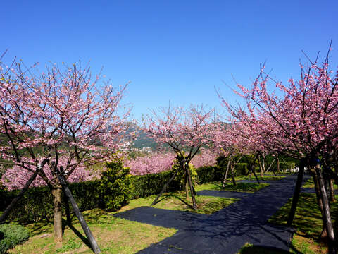 Cherry blossom in Pingdeng Village